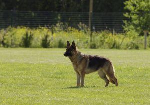 A dog standing in a field